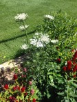 Is the white weed called yarrow?