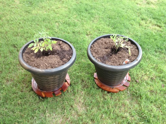 Two Early Girl tomato plants I bought in mid-September. Will I get fruit out of them yet this fall?